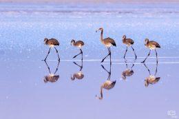 Tuz Gölü Flamingoları